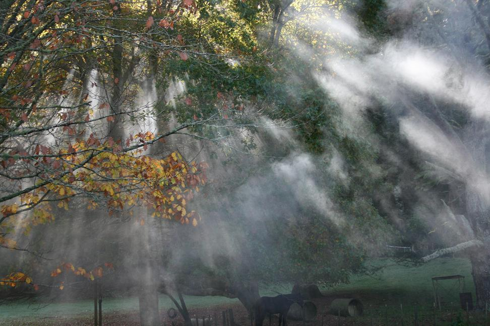 Old Forest School mist tree